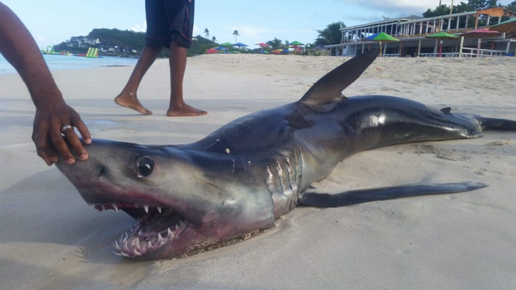 According To Reports Out Of Antigua A Dead Mako Shark Was Found On Darkwood Beach Earlier This Morning Thursday 18th October